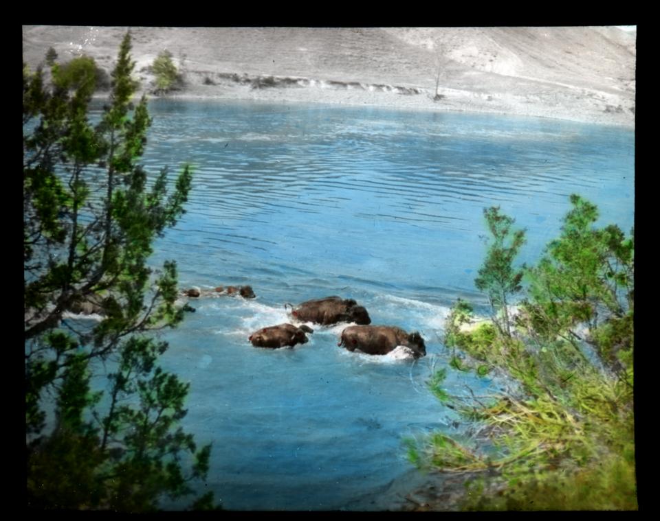 Buffalo swimming river