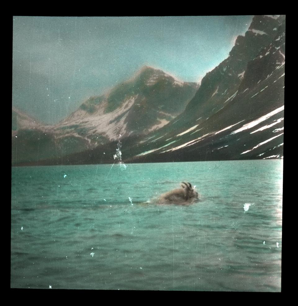 Goat swimming lake