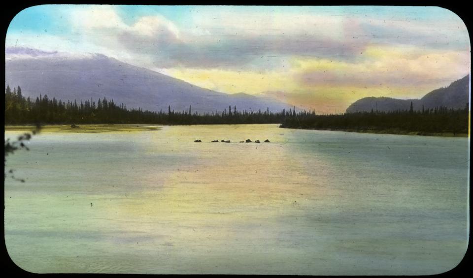 Horses swim Athabasca
