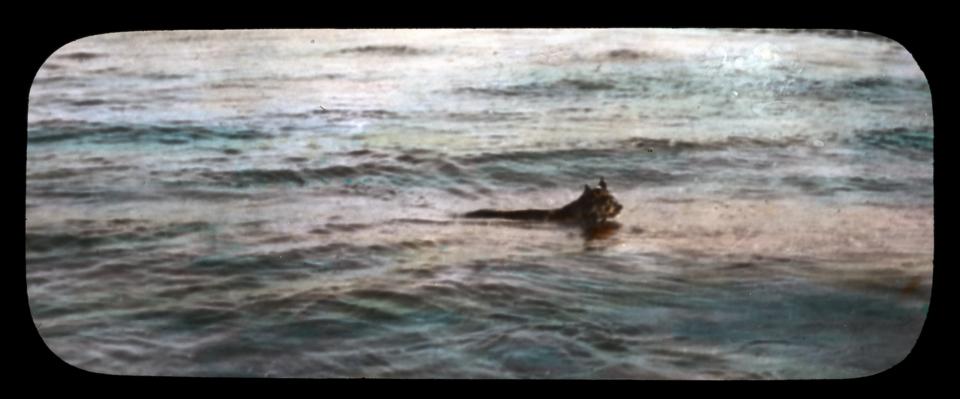 Lynx swimming Slave River