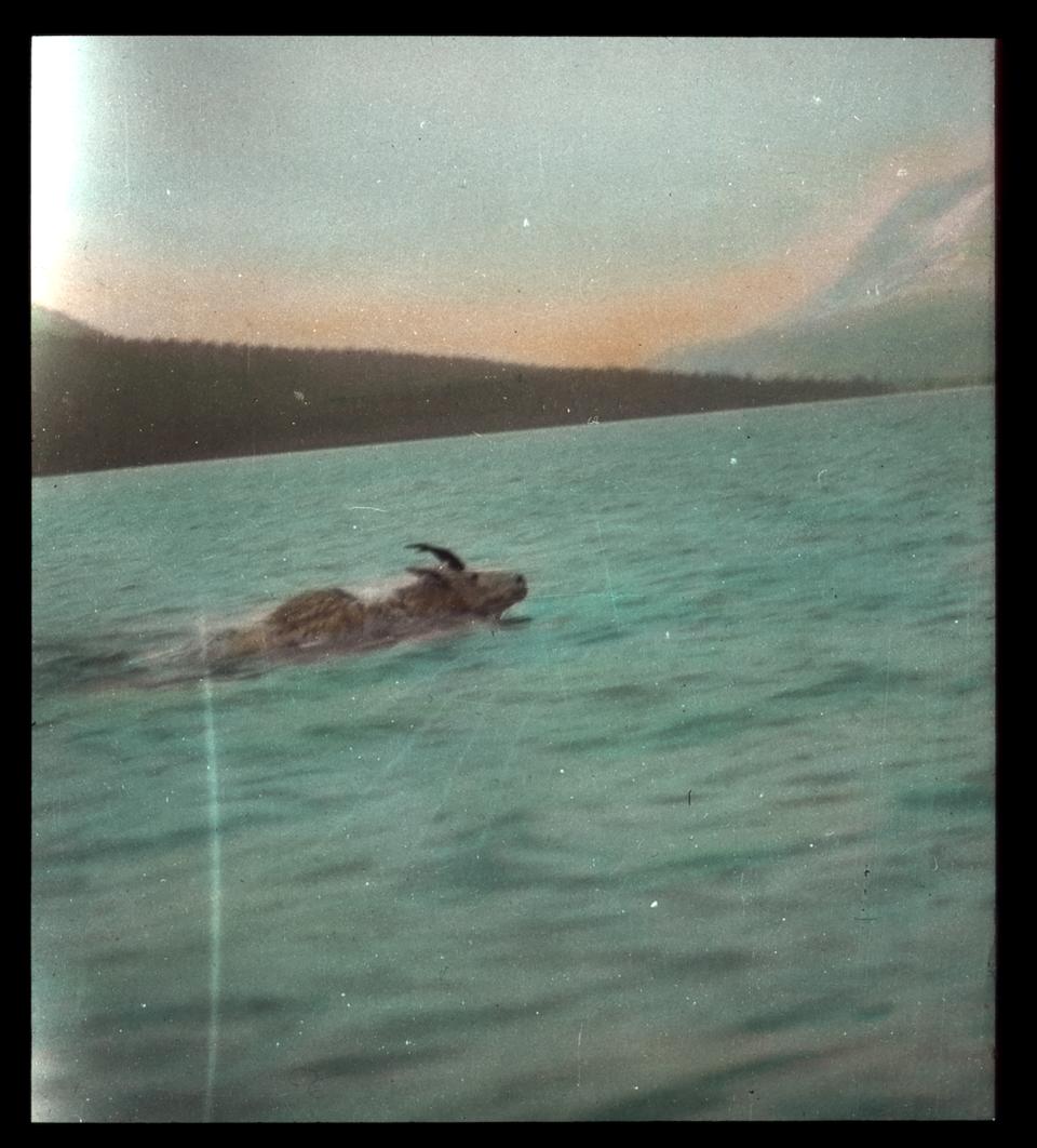 Mountain goat swimming