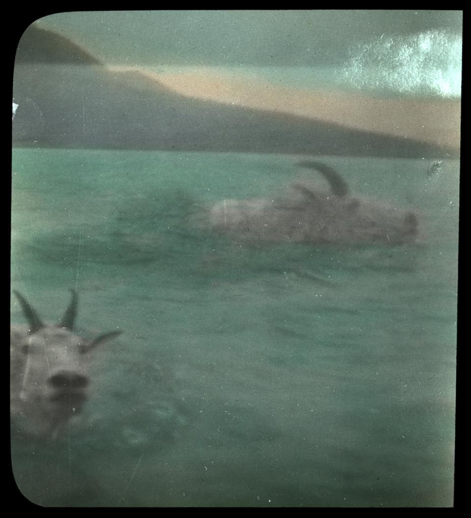 Two mountain goat swimming