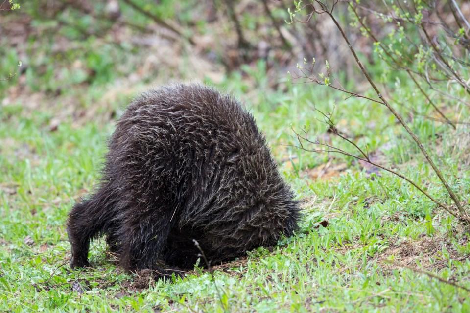 johnemarriott_grz5959_grizzlybear