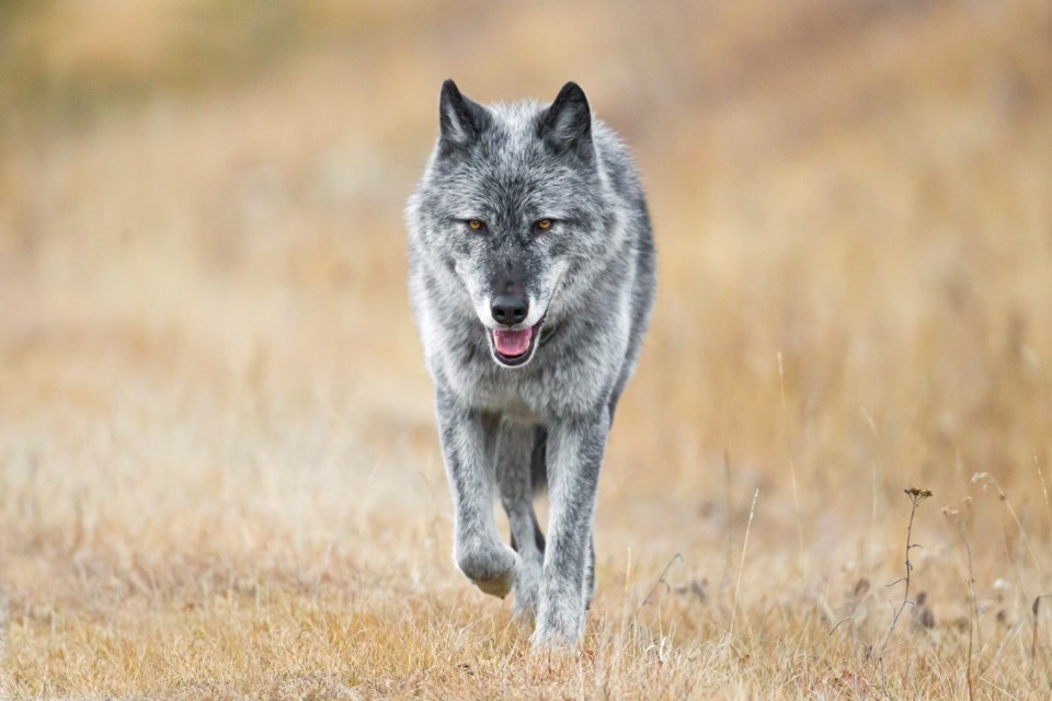 johnemarriott_wlf0671_wildwolf_canadianrockies