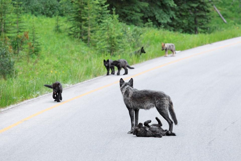 johnemarriott_wlf1621_wildwolfpups