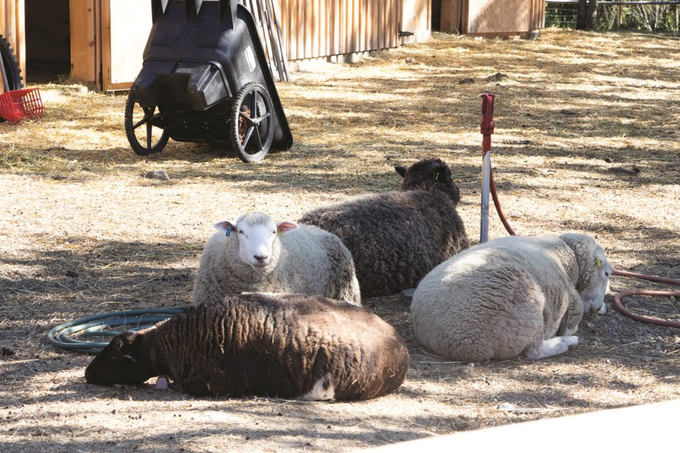 A flock of sheep rest in the shade during the Alberta Open Farm Days event at Providence Lane Homestead on Aug. 15. Photo by Jordan Stricker/Rocky View Weekly