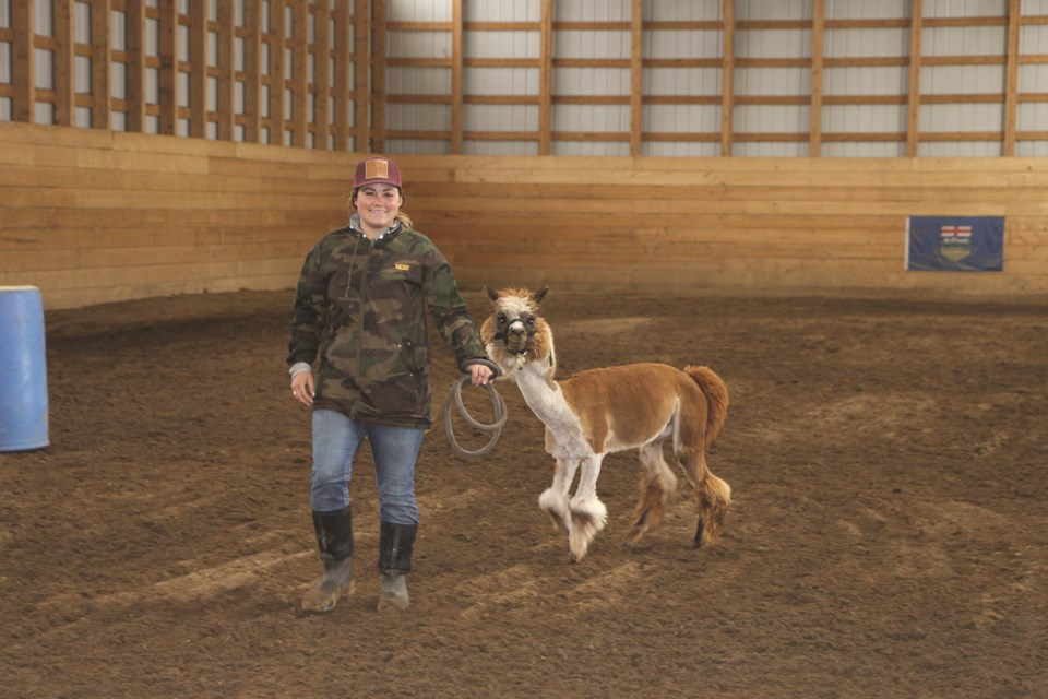 Morgan Cooper takes Allen the Alpaca for a stroll around the equestrian facility at Willow Ridge Equine. Allen has become a local celebrity with more than 12,000 fans on Facebook. Photo by Carmen Cundy/Airdrie City View