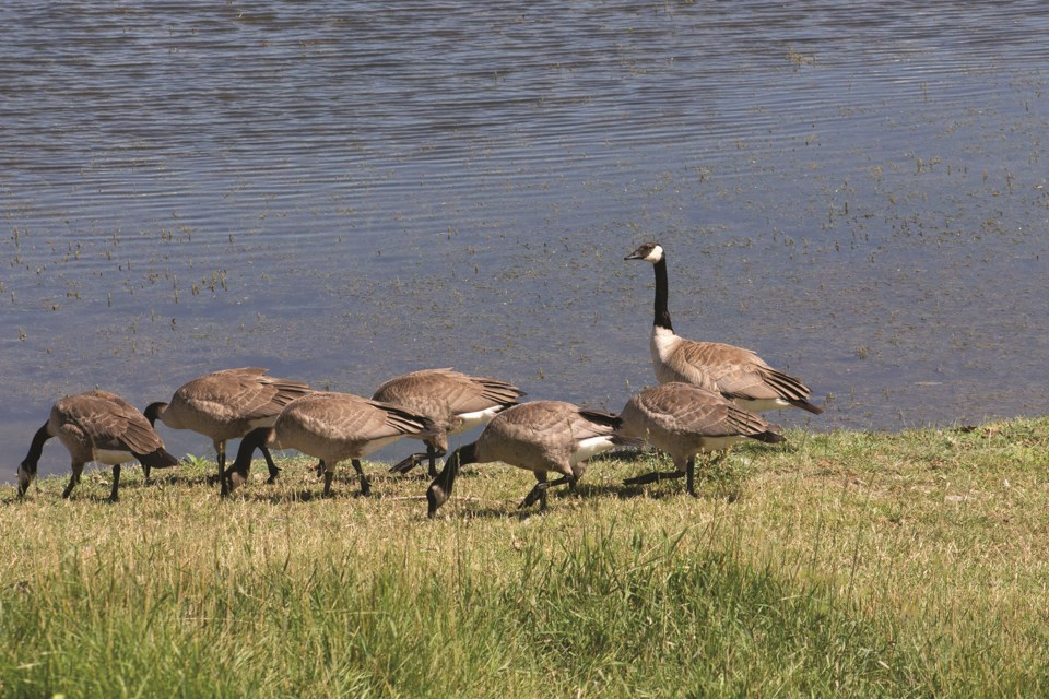 With Canadian geese set to migrate back to local areas with the arrival of spring, the Alberta Institute for Wildlife Conservation is sharing tips to prevent nesting in residential and city areas. Photo by Jordan Stricker/Airdrie City View