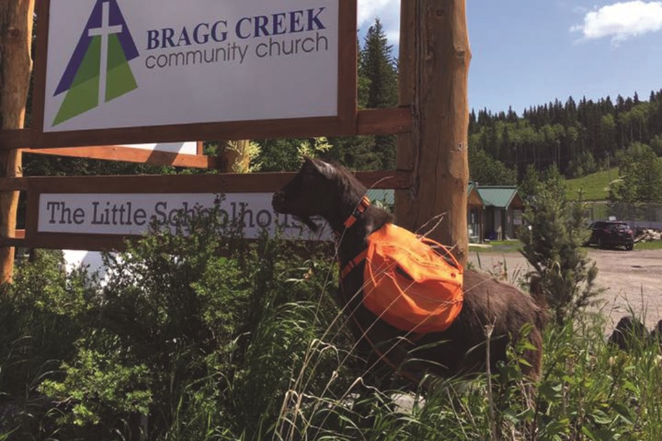 Hendrix is Bragg Creek's billy goat ambassador. This is his second summer on the job. Photo Submitted/For Rocky View Weekly.