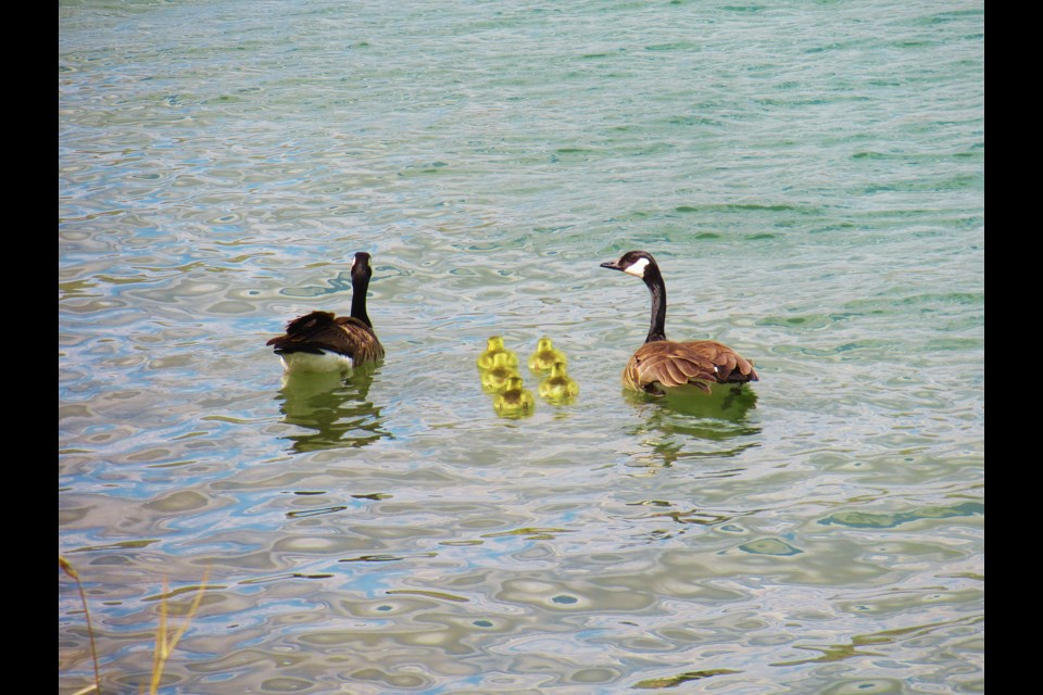 A family of goslings recently hatched near Brian Robb's property in Springbank, and he managed to capture photos of the new parents leading their offspring to the river for a swim. Photo Submitted/For Rocky View Publishing