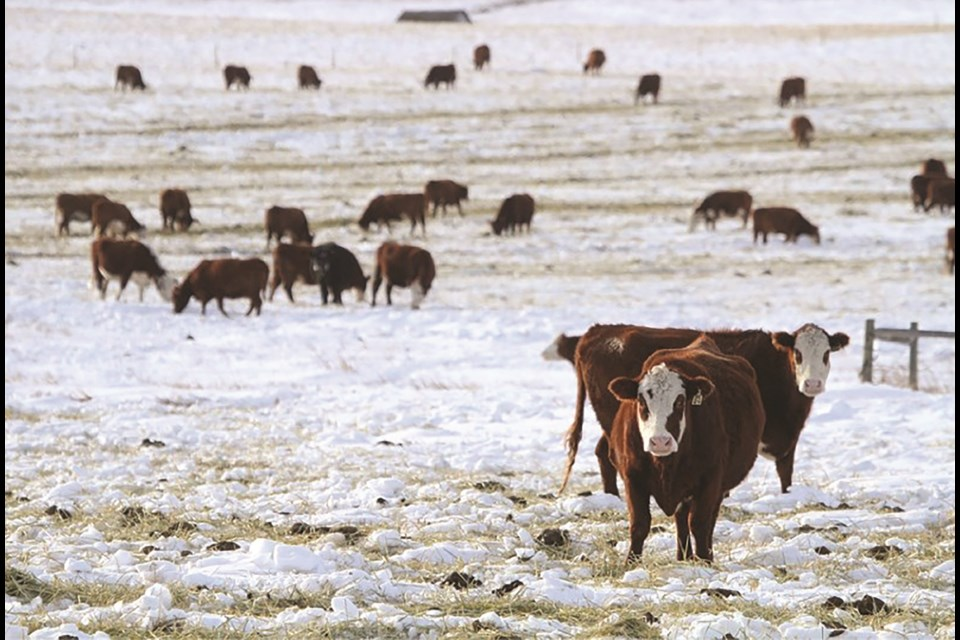 Ranchers haven't seen the same level of disruption to daily life that most people have experienced during the COVID-19 pandemic, according to the chair of the Alberta Beef Producers. File photo/Rocky View Weekly