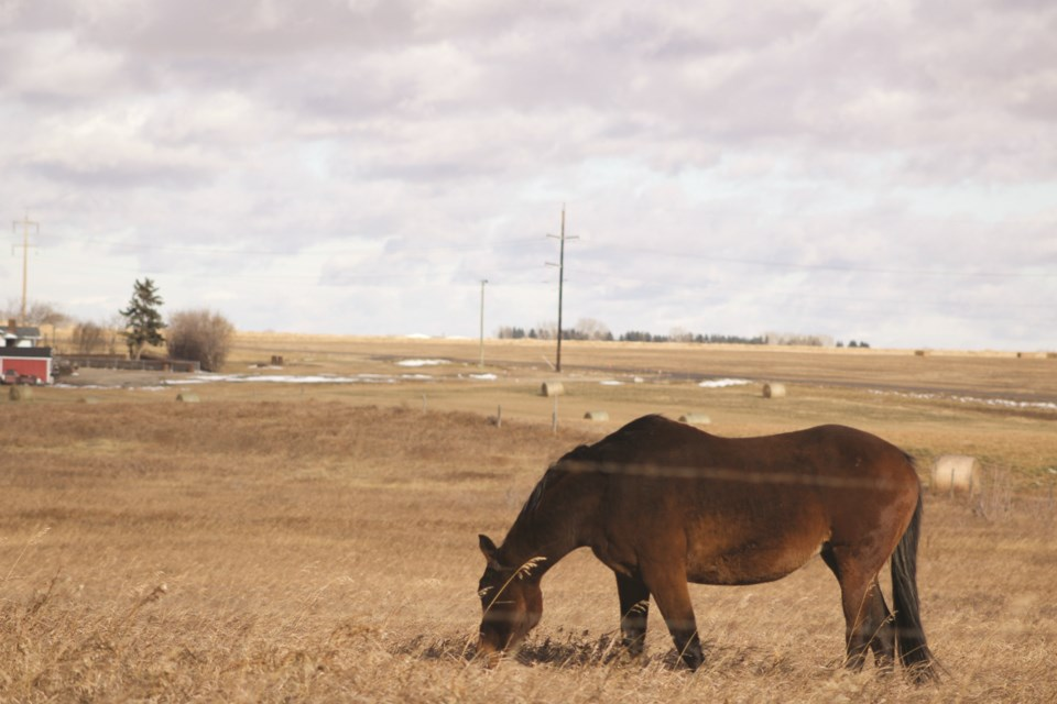 On the final day of October, a horse withstands a blistering wind while grazing near Sharp Hill. Photo by Ben Sherick/Rocky View Publishing