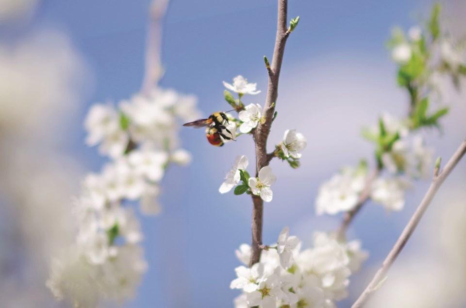 pollinatorrecovery