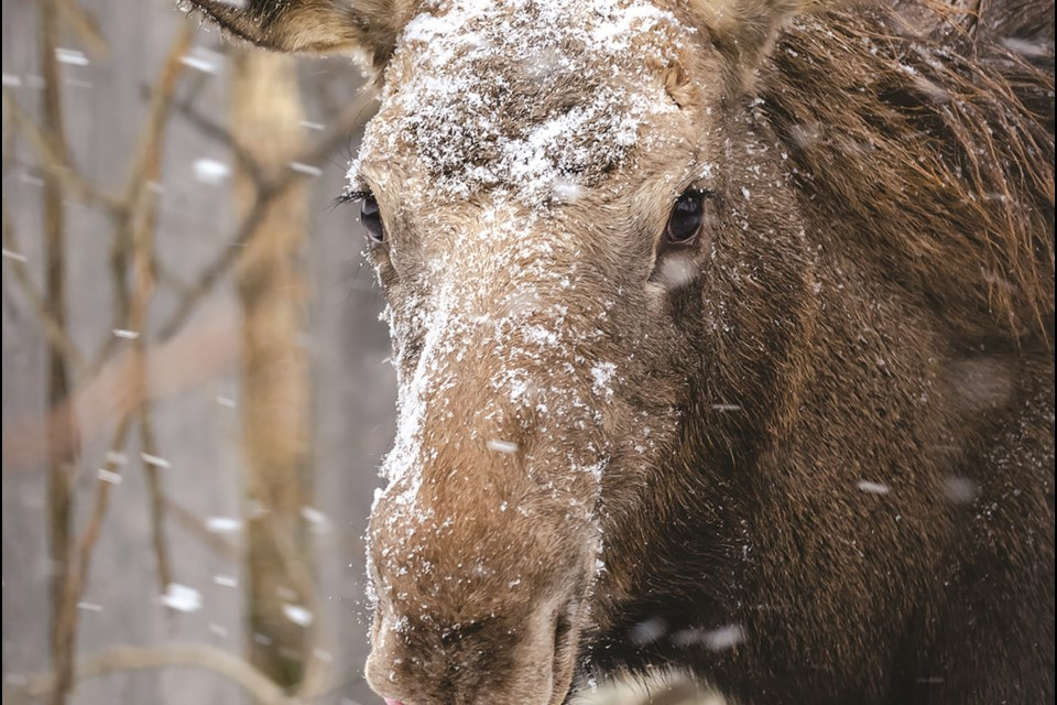 The Alberta Institute for Wildlife Conservation accepts and rehabilitates injured or orphaned animals, such as this moose calf, which the centre welcomed in May. Photo by Denise Cresswell/Rocky View Weekly.