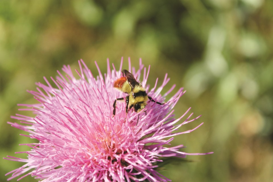Ecologist Megan Evans will teach Rocky View County residents all about local bees during an April 28 webinar facilitated by the County.