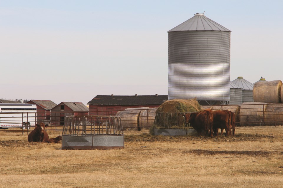 Some cows enjoy rest and a bite to eat in a rancher's field in Kathryn on a Saturday afternoon.