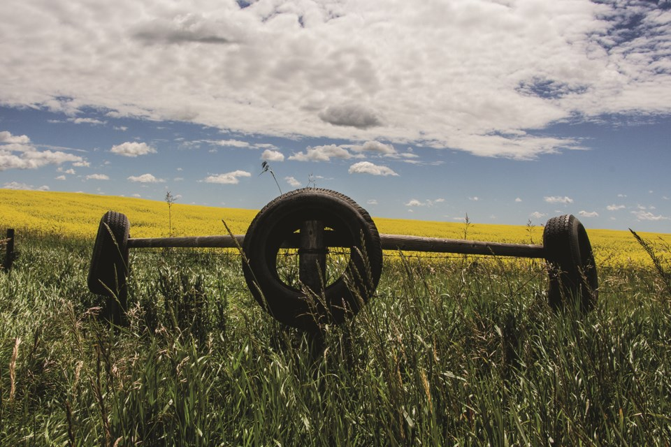 Tires hang on old farm fence posts in front of a canola field. Photo by Jordan Stricker/Rocky View Weekly.