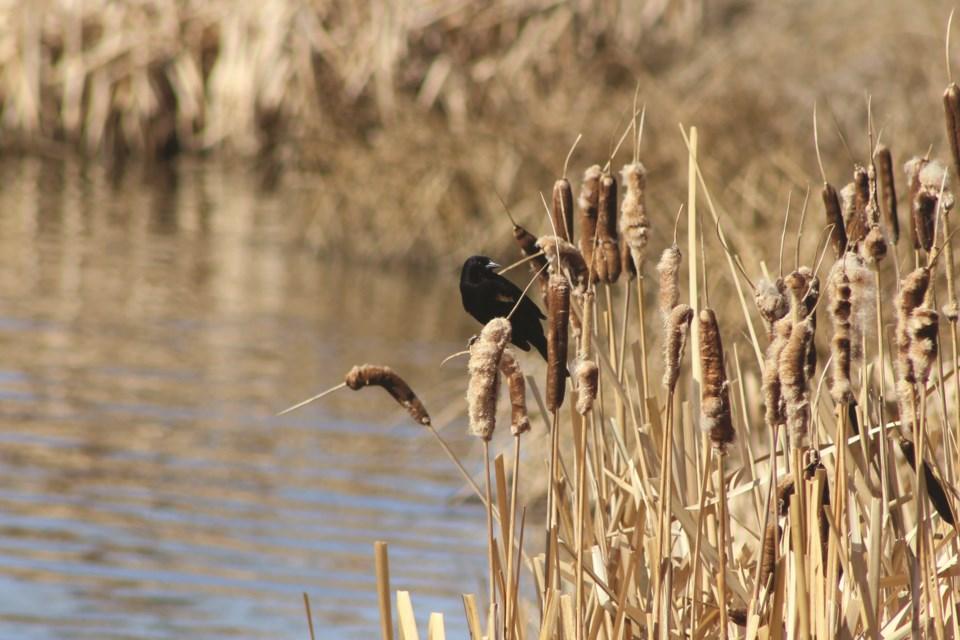 Standalone-Blackbird1Web