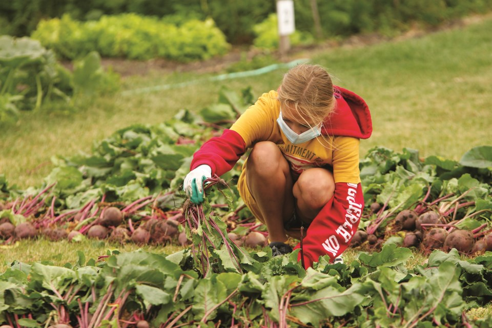 Members of the Airdrie Youth Volunteer Corps got their hands dirty Sept. 12 when they harvested produce from Crossfield's The Garden of Hope. Photo by Scott Strasser/Airdrie City View