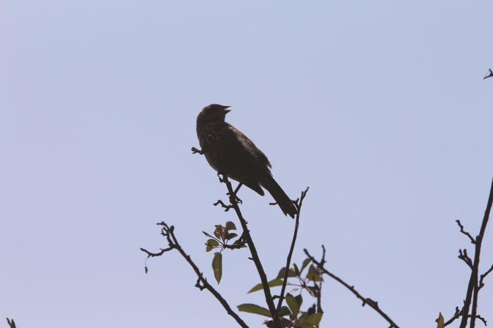STANDALONE-SingingSongbird