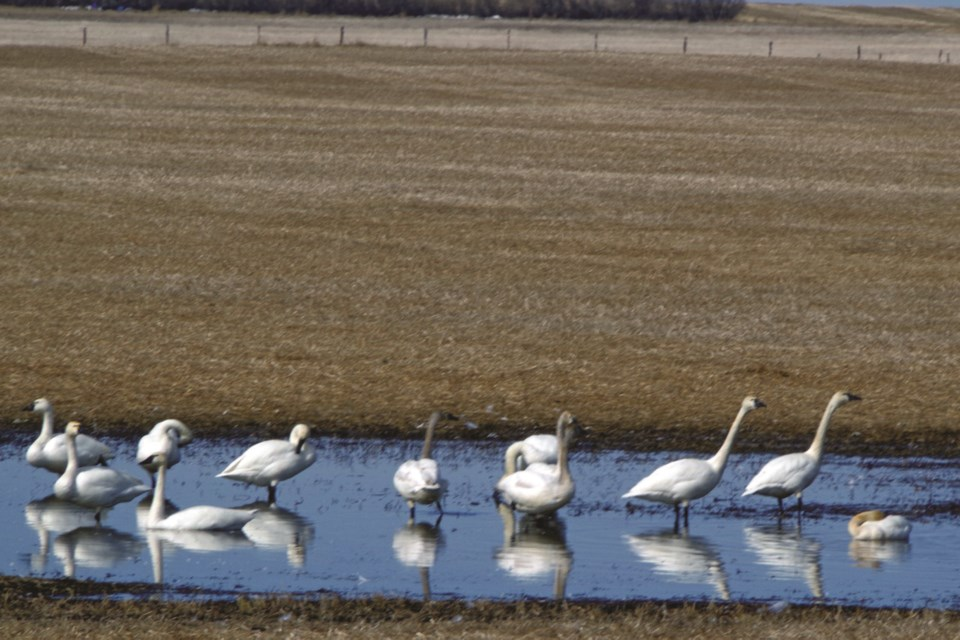 Some swans bathe and cool off in a pool of water near Highway 806 north of Beiseker.
