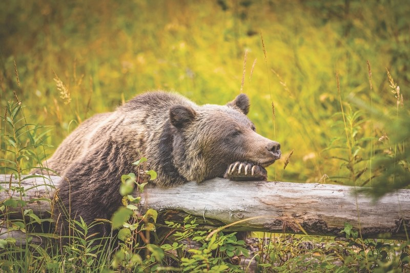 Thousands of concerned Albertans are urging the province to reassess limitations that were placed on the rehabilitation of large wildlife in 2010.