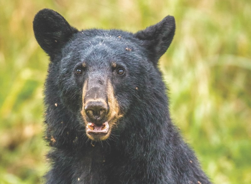 The province announced April 18 approved wildlife rehabilitation facilities would once again be able to accept black bears less than one year of age – but many other