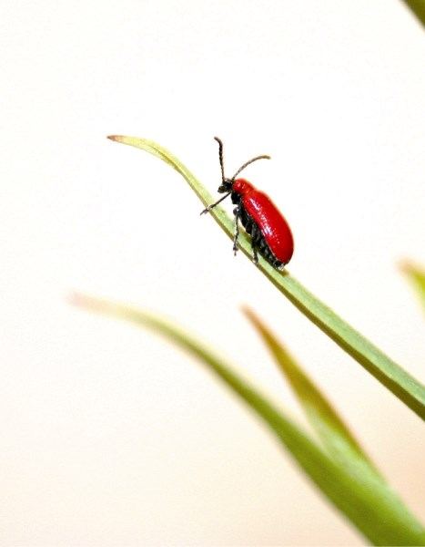 The Lily Beetle may look innocuous, but it is wreaking havoc on lilies in Rocky View County and beyond.