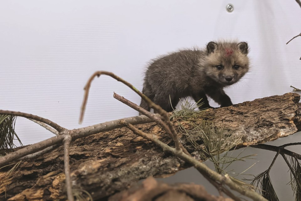 The Alberta Institute for Wildlife Conservation are hosting its 10th annual Wildlife Baby Shower in order to raise funds and awareness towards caring for and rehabilitating Alberta wildlife.
