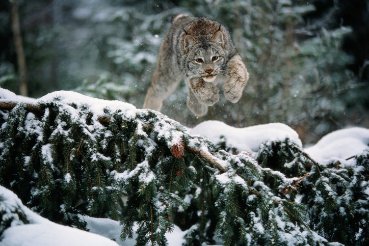 Lynx-GettyImages