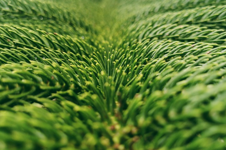 Pine-GettyImages-1210714364