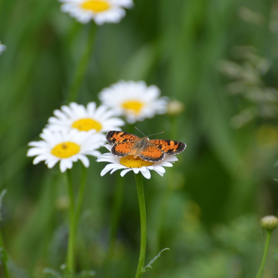 Forest therapy - Phyciodes (002)