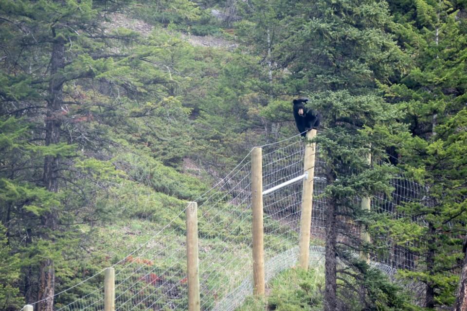 A black bear climbs fencing along the Trans-Canada Highway inside Banff National Park. SARA FASSINA PARKS PHOTO