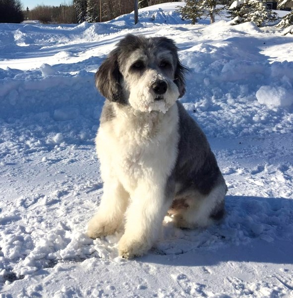 Morris the Therapy Dog works full time at the Baker Funeral Home in Wetaskiwin.
