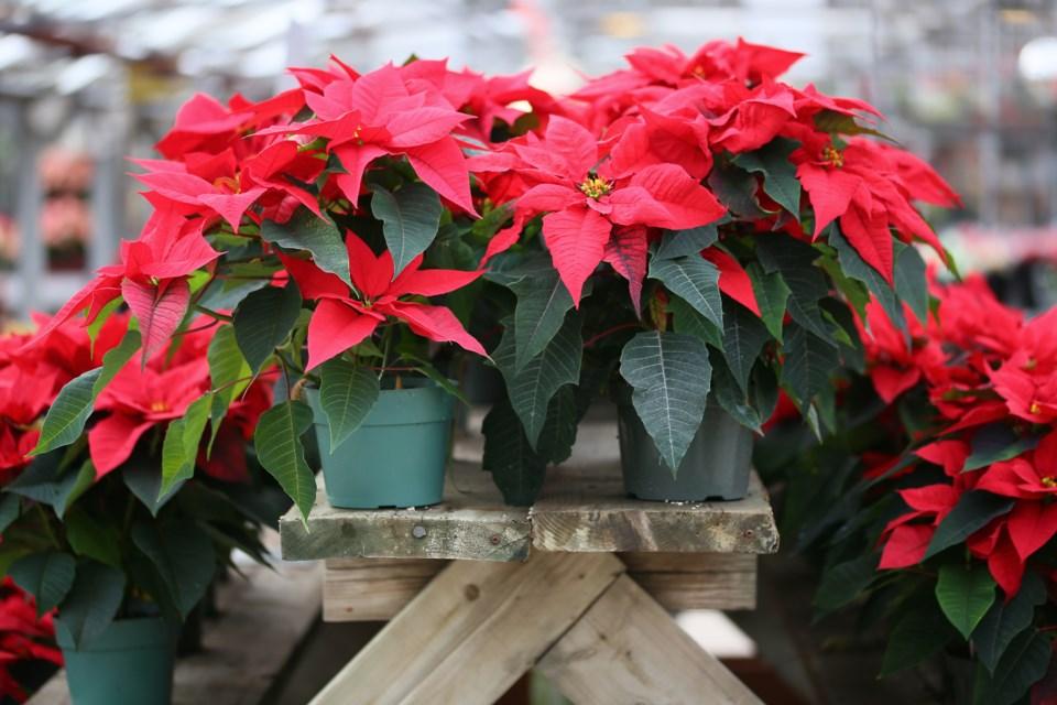 Nothing Says Christmas Like A Poinsettia Albertaprimetimes Com
