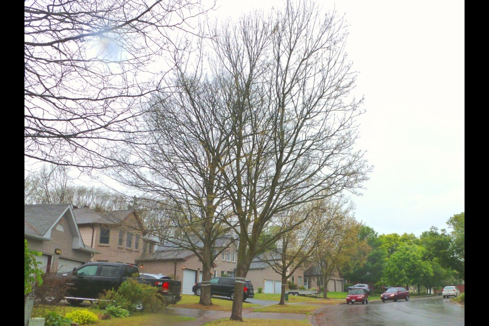Barrie's Browning Trail, and an example of the damage gypsy moths can do to trees.