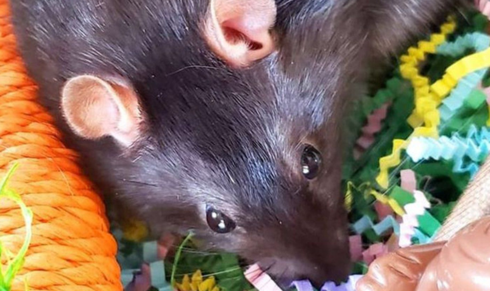 2021-04-06 Found black rat