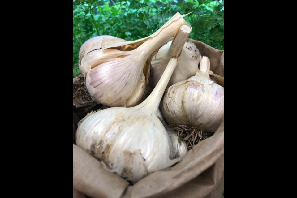 Garlic bulbs.