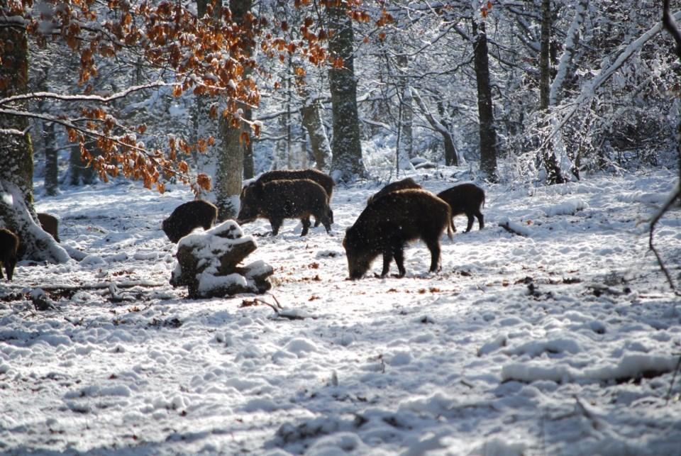 2021-02-19 Wild pigs