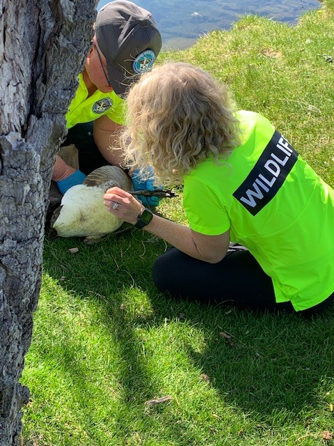 Municipal Wildlife Control Services help free a tangled goose Friday by Barrie waterfront. Photo submitted