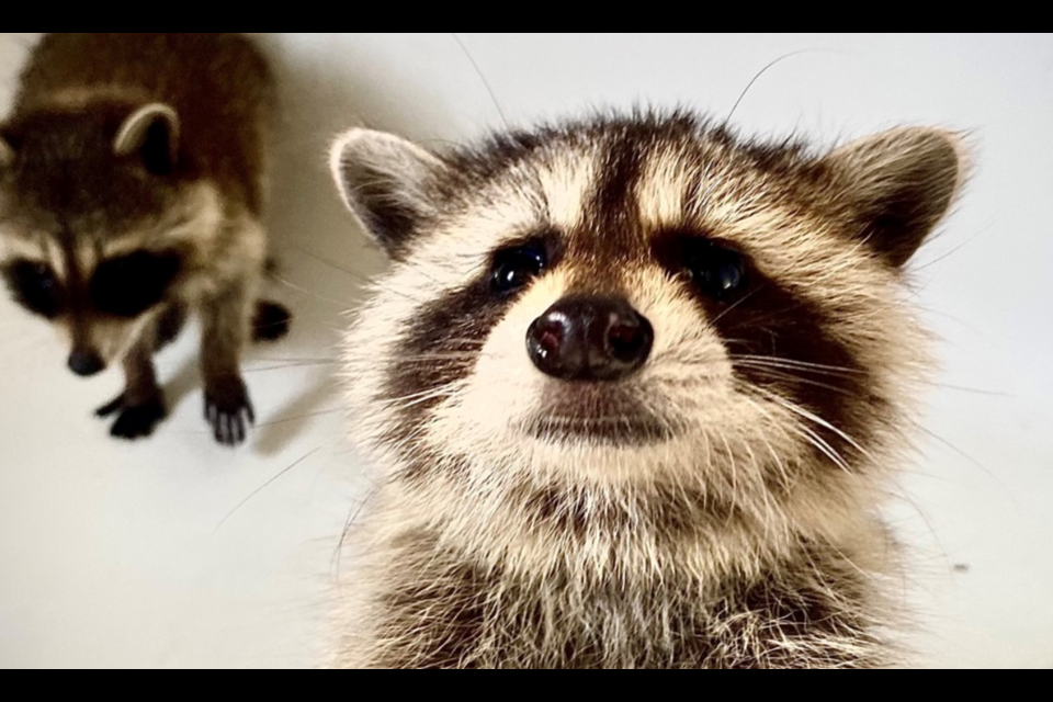 Two orphaned baby raccoon are now safe and sound at Procyon Wildlife after being scooped up by police Sunday morning.