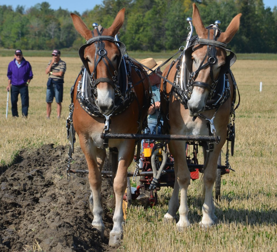20190922 mules walton