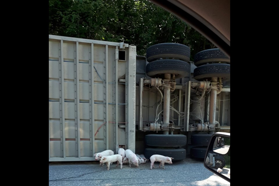Pigs are making a run for it after a truck loaded with pigs overturned.