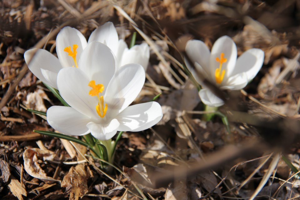 USED 170518 9 White crocus. North Bay waterfront. Photo by Brenda Turl for BayToday.