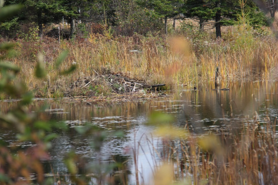 USED20171116 01 Beaver dam at Laurier Woods. Photo by Brenda Turl for BayToday.