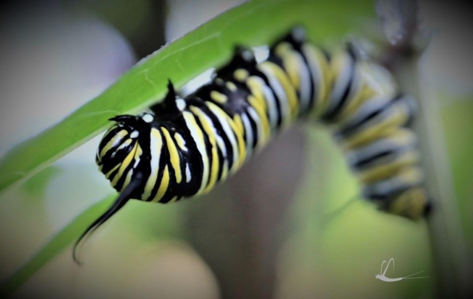 monarch caterpillar 1a
