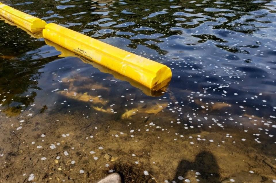 20210607 dumped walleye muskoka river
