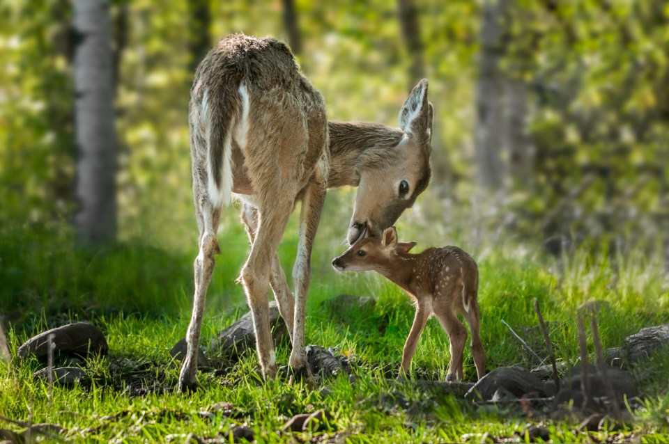 fawn with mother AdobeStock_71229129 2017