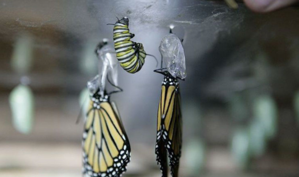 monarch-butterfly-may-3