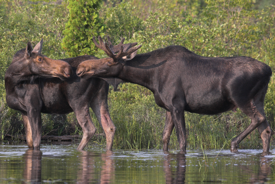 2021 07 09 moose 960 crop